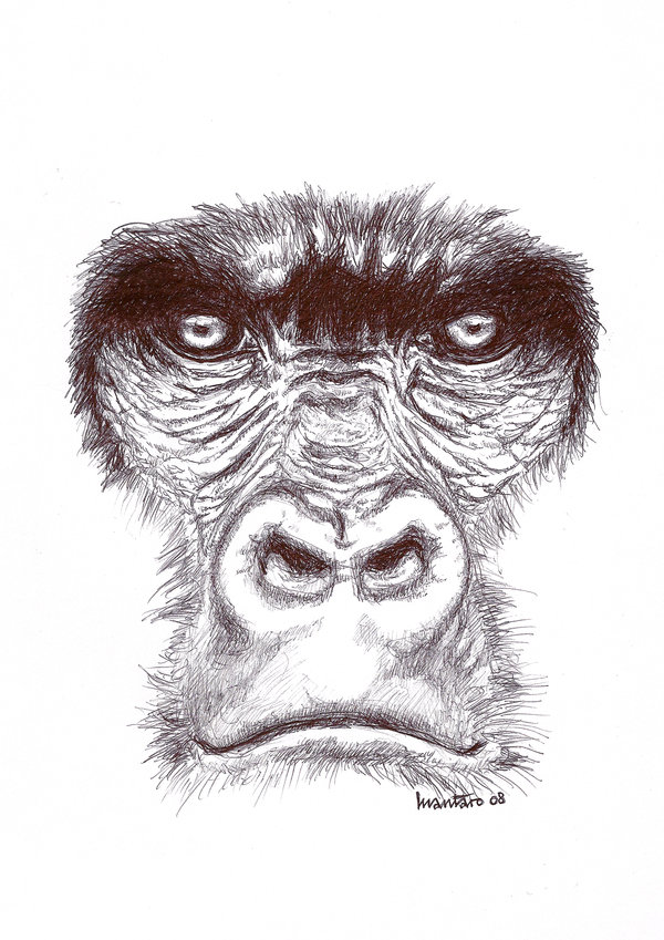 Gorilla Face Line Drawing : Gorilla drawing at getdrawings free for personal use