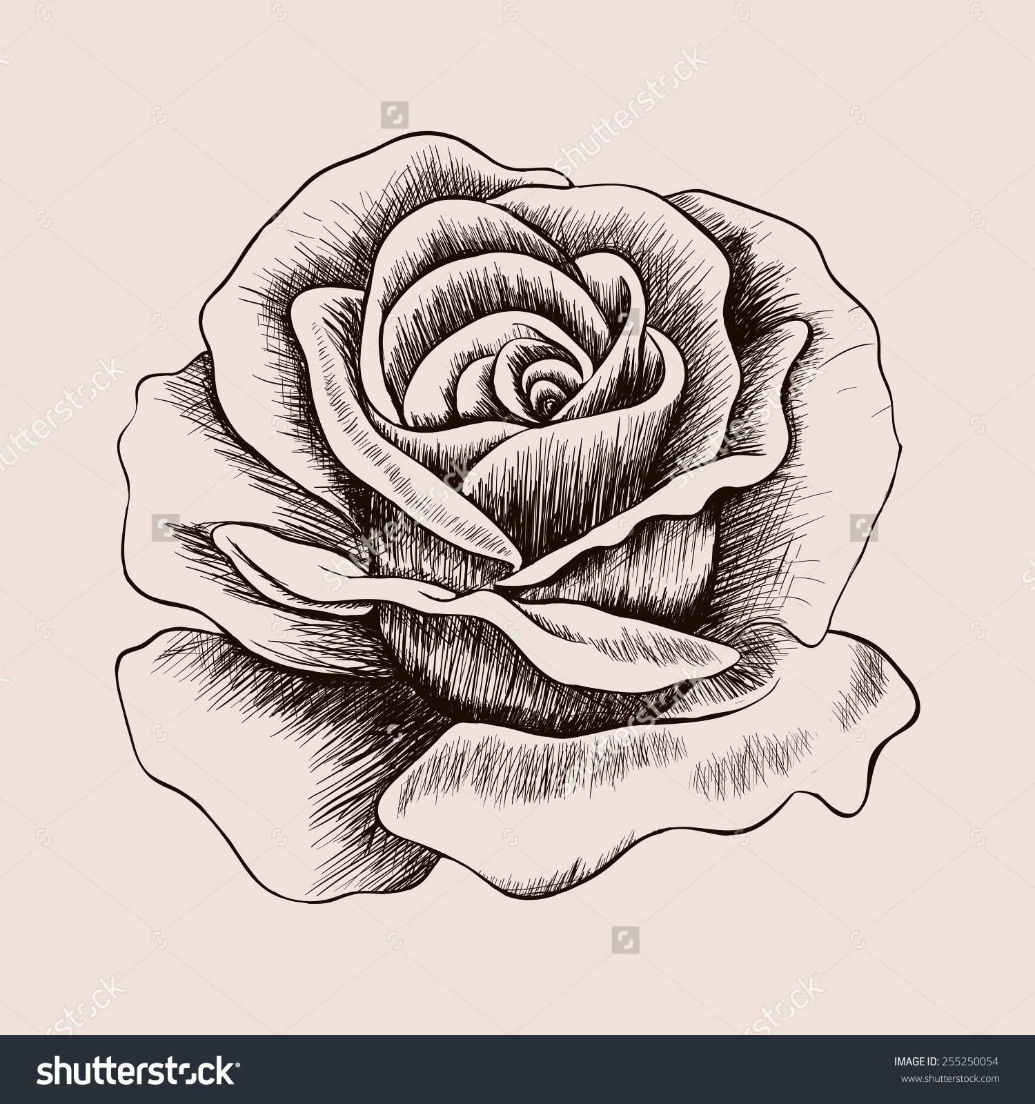 1500x1600 Rose Sketch Stock Photos Images Pictures Shutterstock Hand Drawn