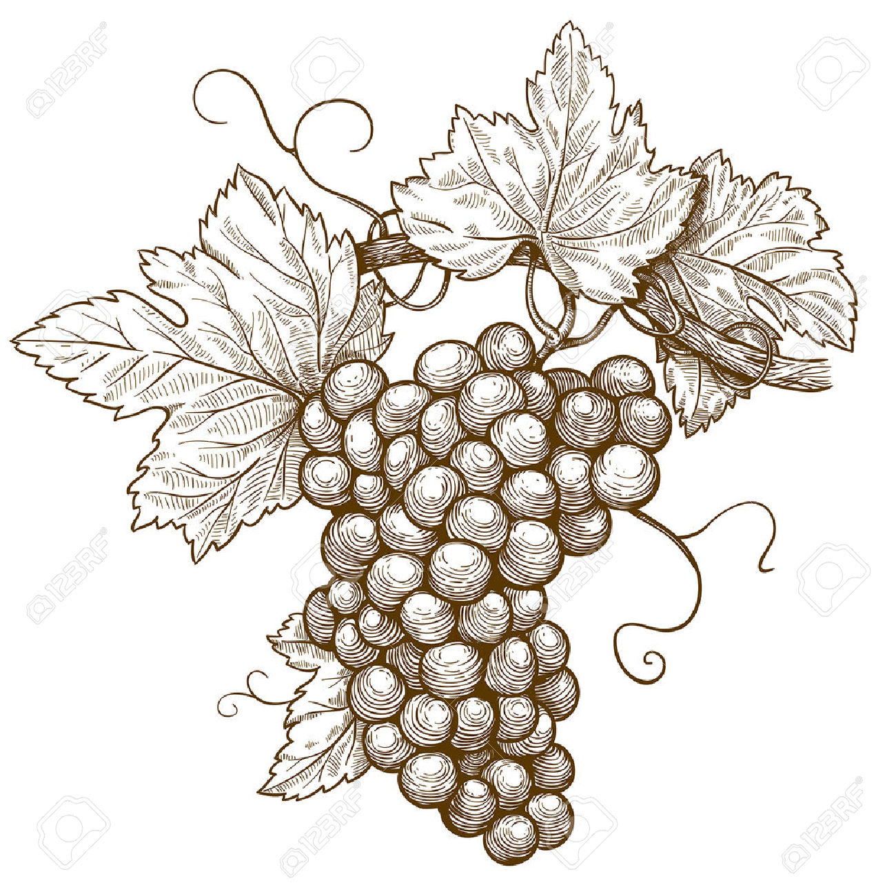 1300x1300 Grape Leaf Botanical Illustration