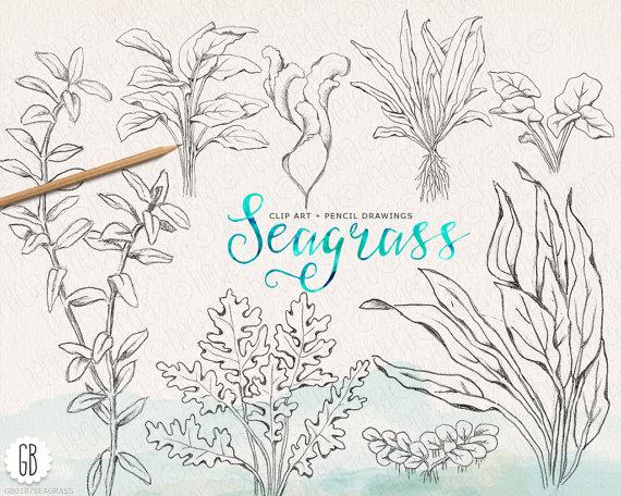 570x456 Seaweeds Sea Grass Handdrawn Vintage Grasses Pencil
