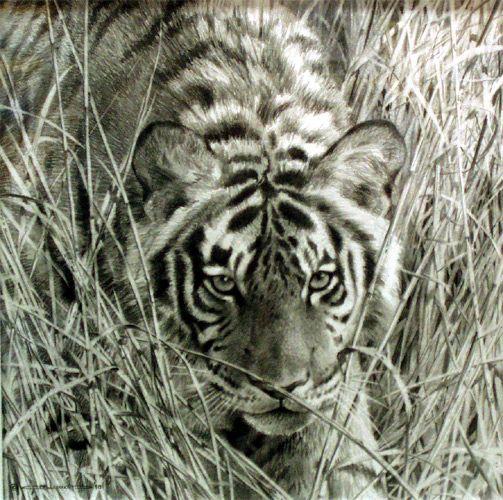 503x500 Tall Grass Tiger