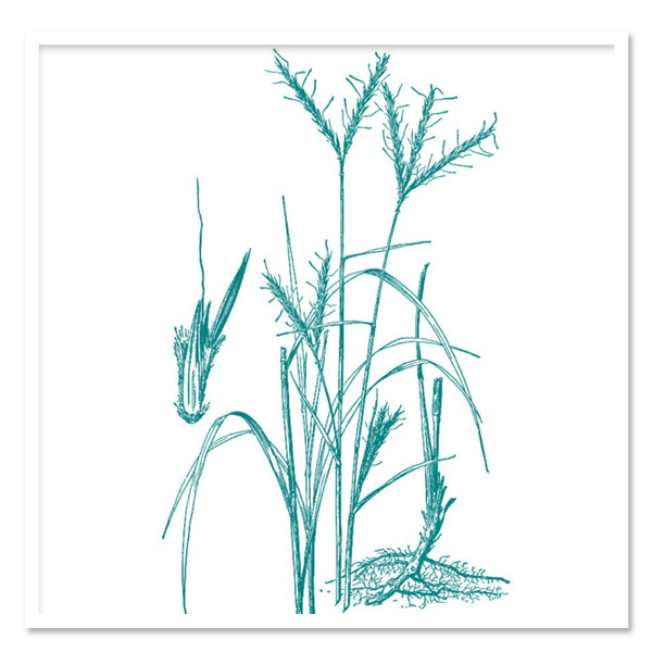 600x600 Andropogon Gerardii, Big Blue Stem Grass Sugar Creek Gardens