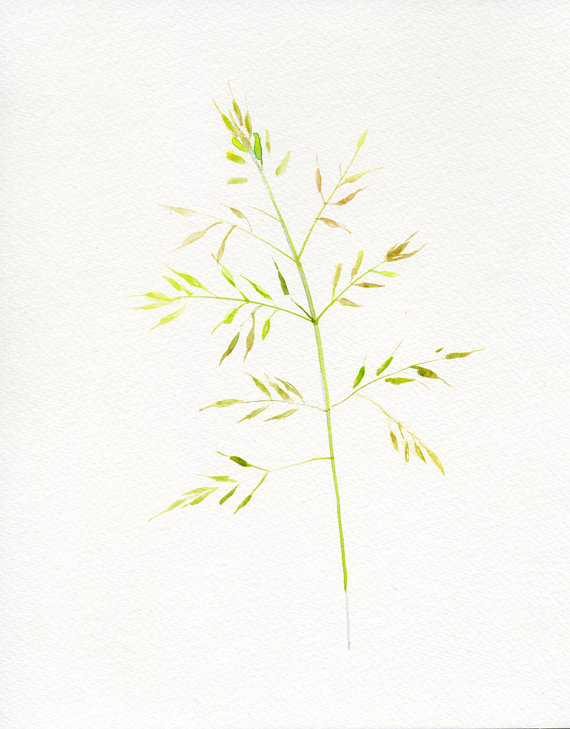 570x729 Grass Botanical Drawing Watercolor Original By Verbruggewatercolor