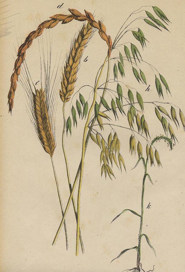 614x900 Grasses Drawing By German Botanical Artist