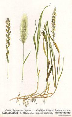 236x382 Prairie Grass Tattoo Research. Switchgrass Little Bluestem