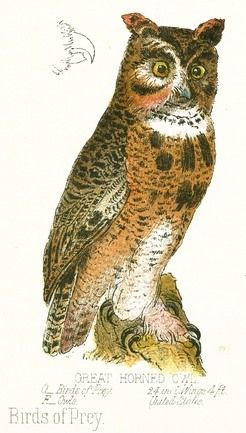 246x433 Vintage Color Illustration Of A Great Horned Owl. Wide, Wide