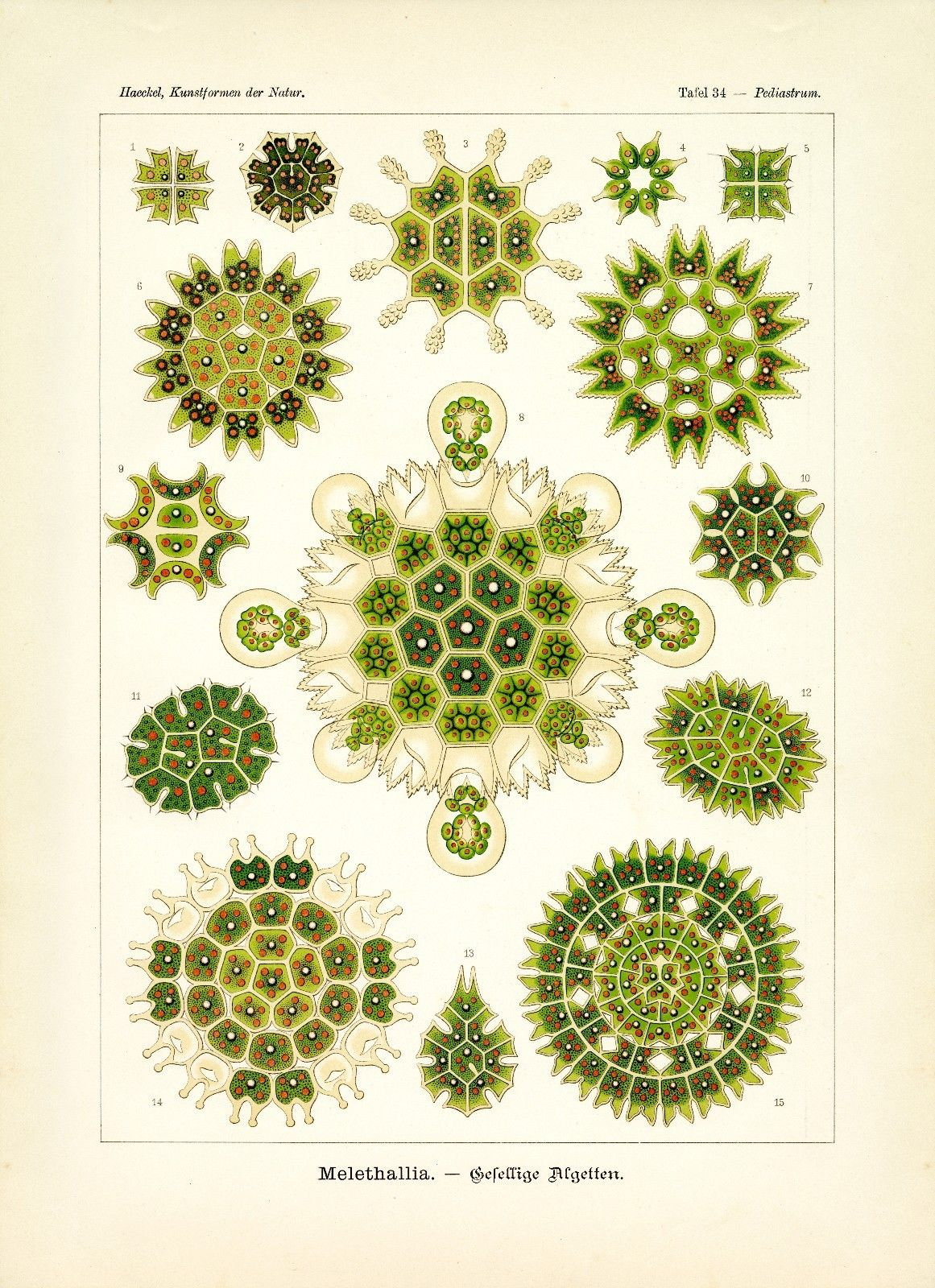 1161x1600 Algae Drawing Ernst Haeckel Green Algae Scientific Illustration