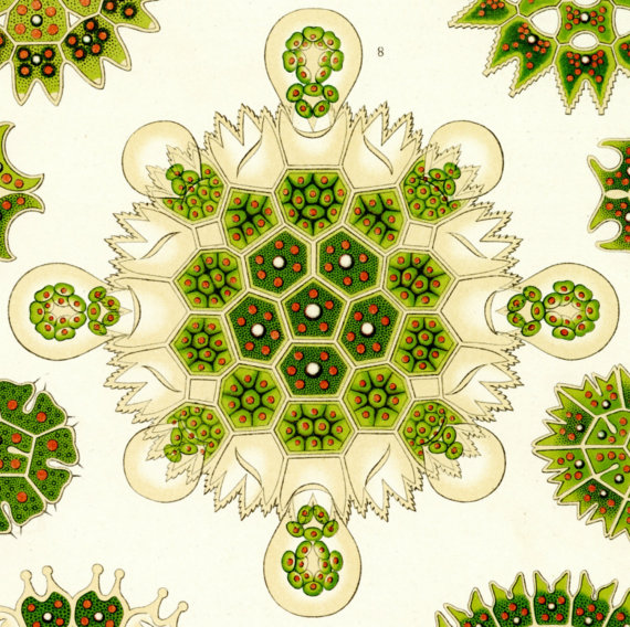 570x568 Algae Drawing Green Algae Green Drawing Haeckel Drawing
