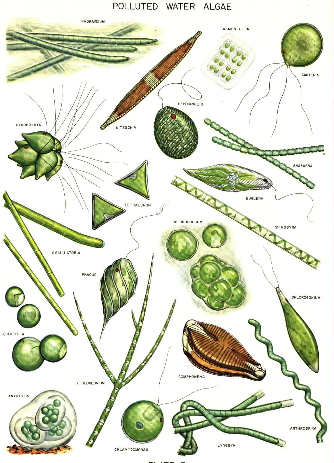 1163x1610 Common Algae Drawings Plankton