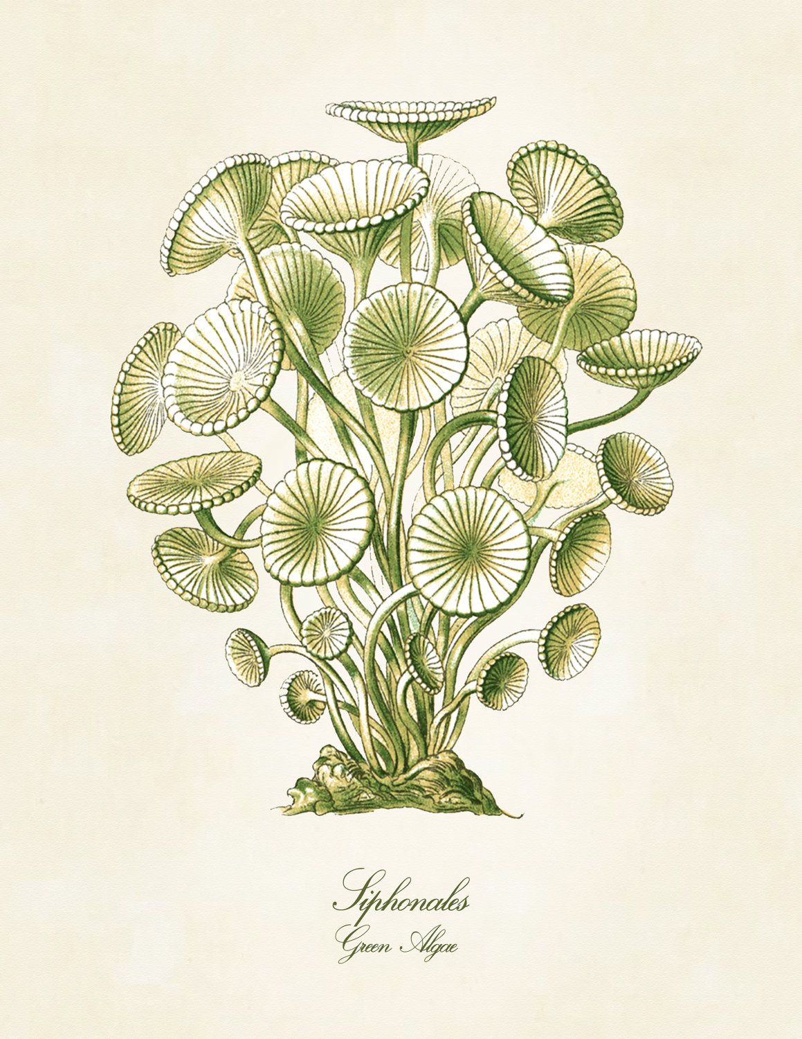 1159x1500 Green Sea Algae Print, Ernst Haeckel Print, Art Nouveau Wall Art