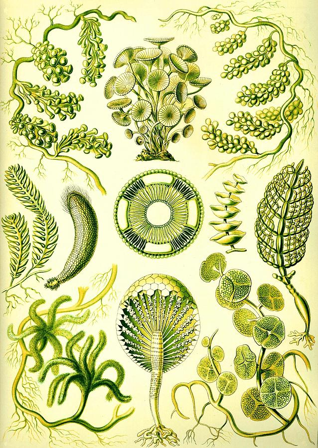638x900 Seaweed Green Algae Chlorophyceae Caulerpa Siphonal Digital Art By