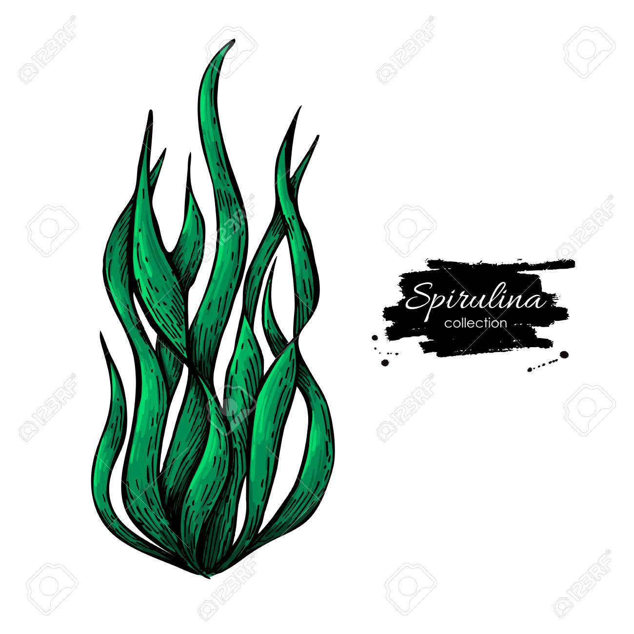 1300x1300 Spirulina Seaweed Powder Hand Drawn Vector Illustration. Isolated