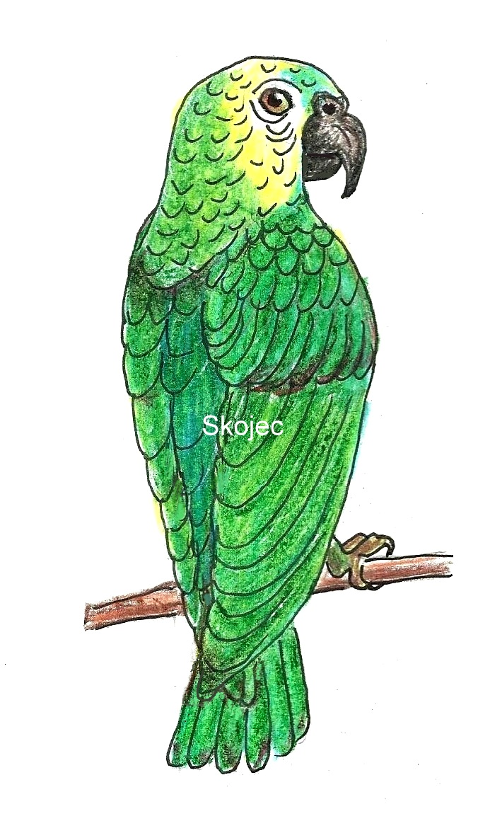 Green Parrot Drawing at GetDrawings.com | Free for personal use ...
