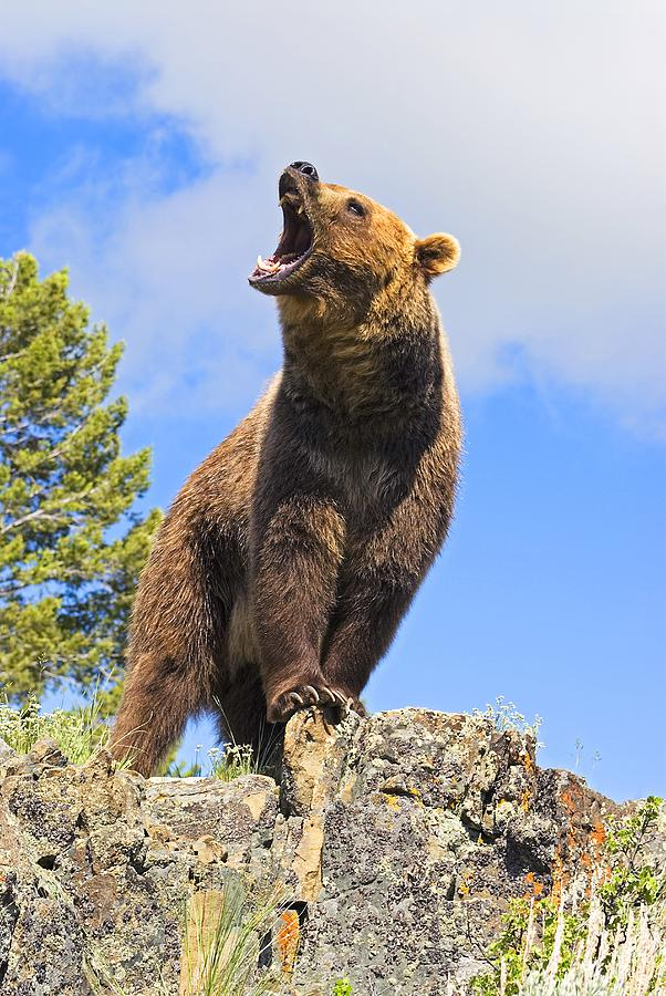 602x900 Grizzly Bear Roaring Photograph By John Pitcher