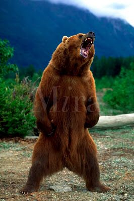 266x400 Grizzly Bear Standing Tattoo Inspiration Bears