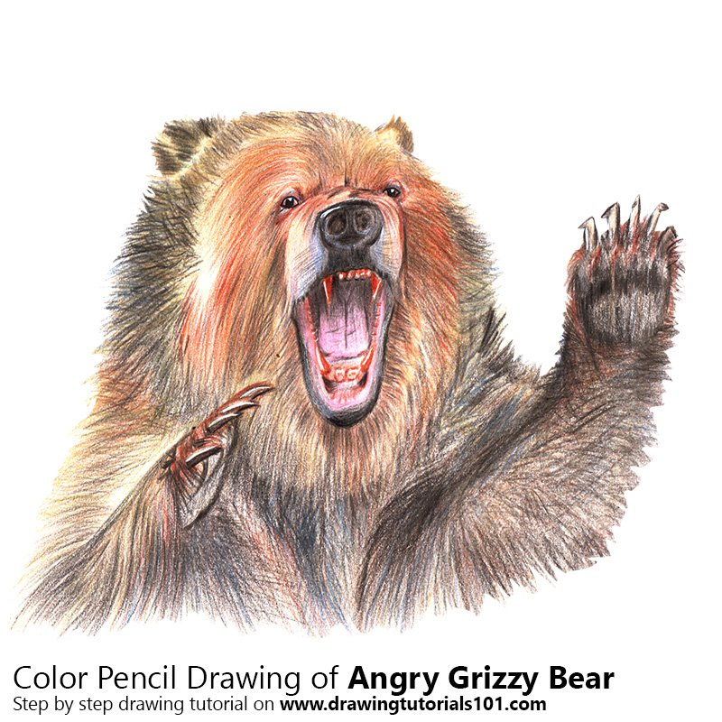 800x800 Angry Grizzly Bear Colored Pencils