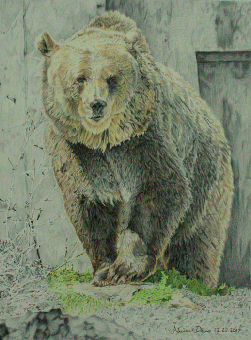 518x700 Colored Pencil Drawing Of Maggie The Grizzly Drawn By Artist
