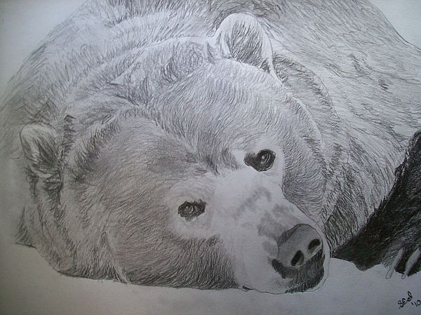 600x449 Grizzly Bear Original Pencil Sketch By Pigatopia Drawing By