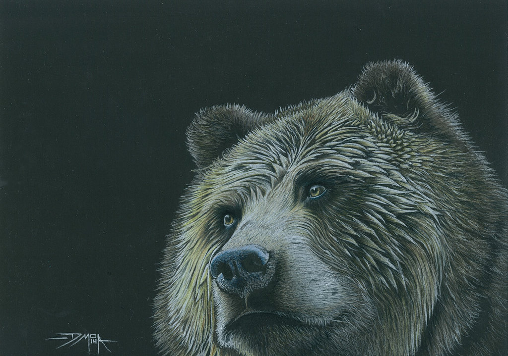 1024x719 Grizzly Bear In Colour Pencil By Dmcallister