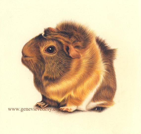 570x541 Guinea Pig Art Print