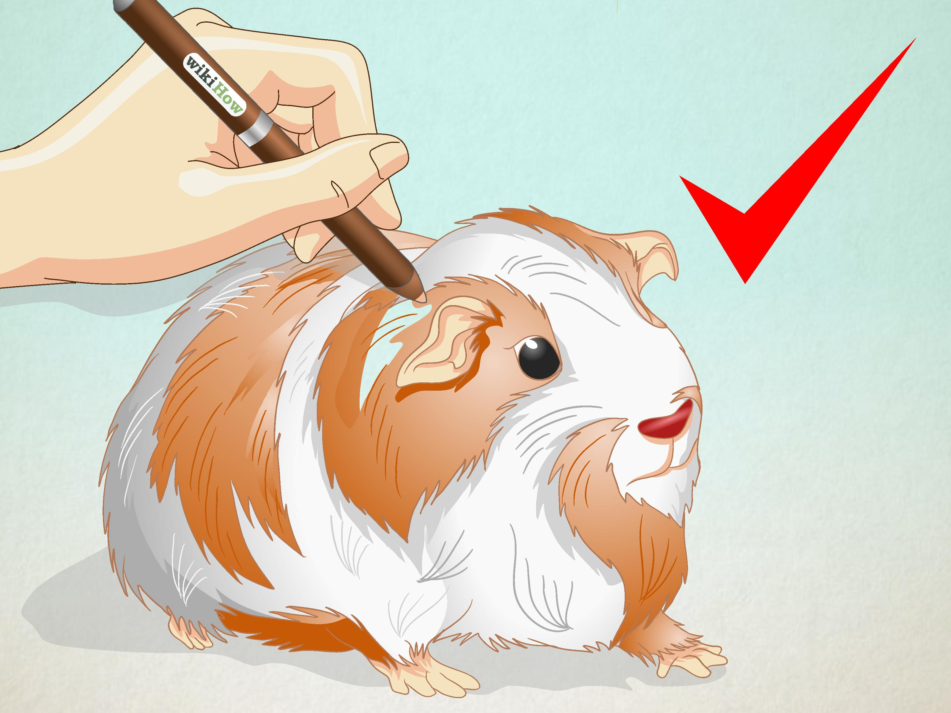 3200x2400 How To Draw A Guinea Pig 6 Steps (With Pictures)