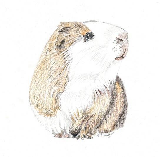 544x532 Little Guinea Pig Drawing From My Etsy Shop Cardcreative
