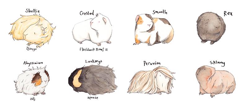 800x364 guinea pig sketches