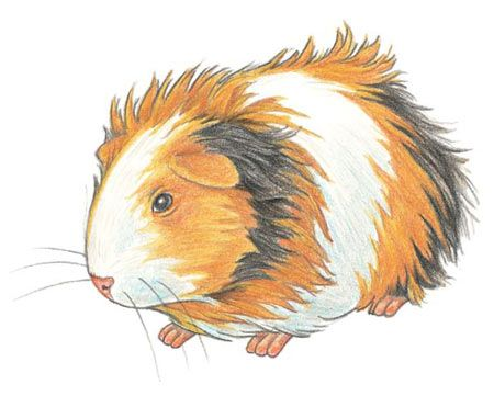 450x361 How To Draw A Guinea Pig Artartists Drawings