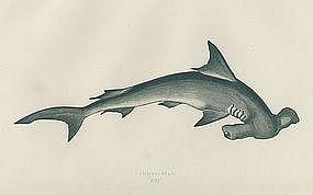 285x178 Pictures Of Hammerhead Shark Drawings Hammerhead Shark Antique