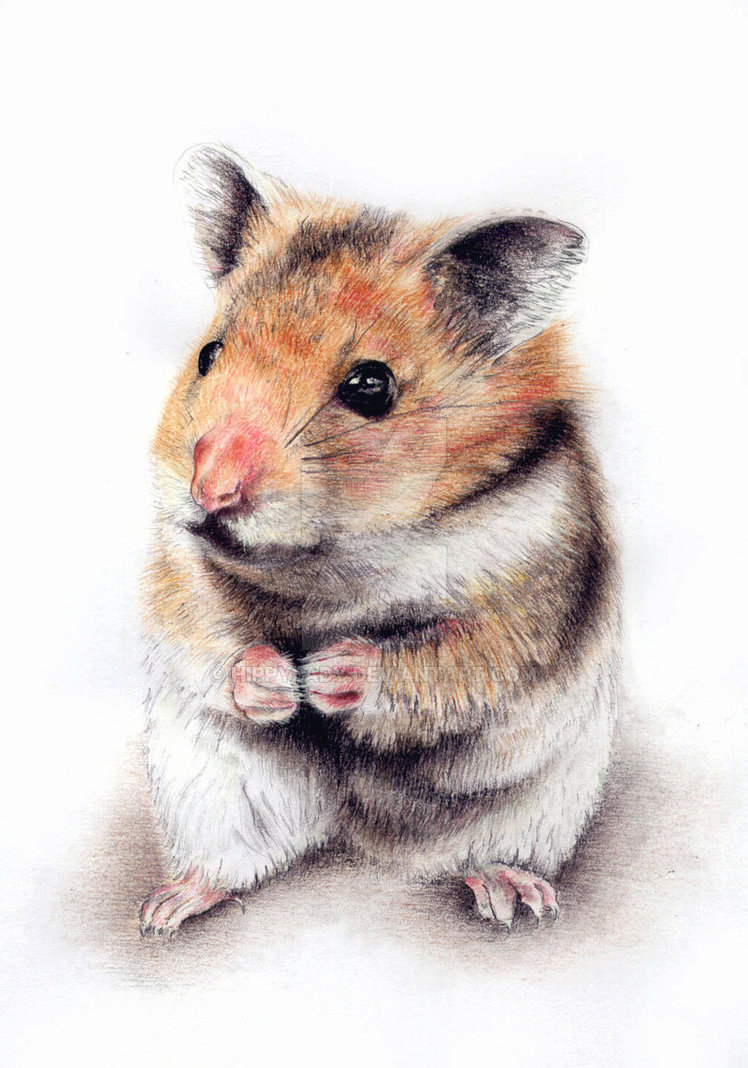 748x1068 Hamster Drawing