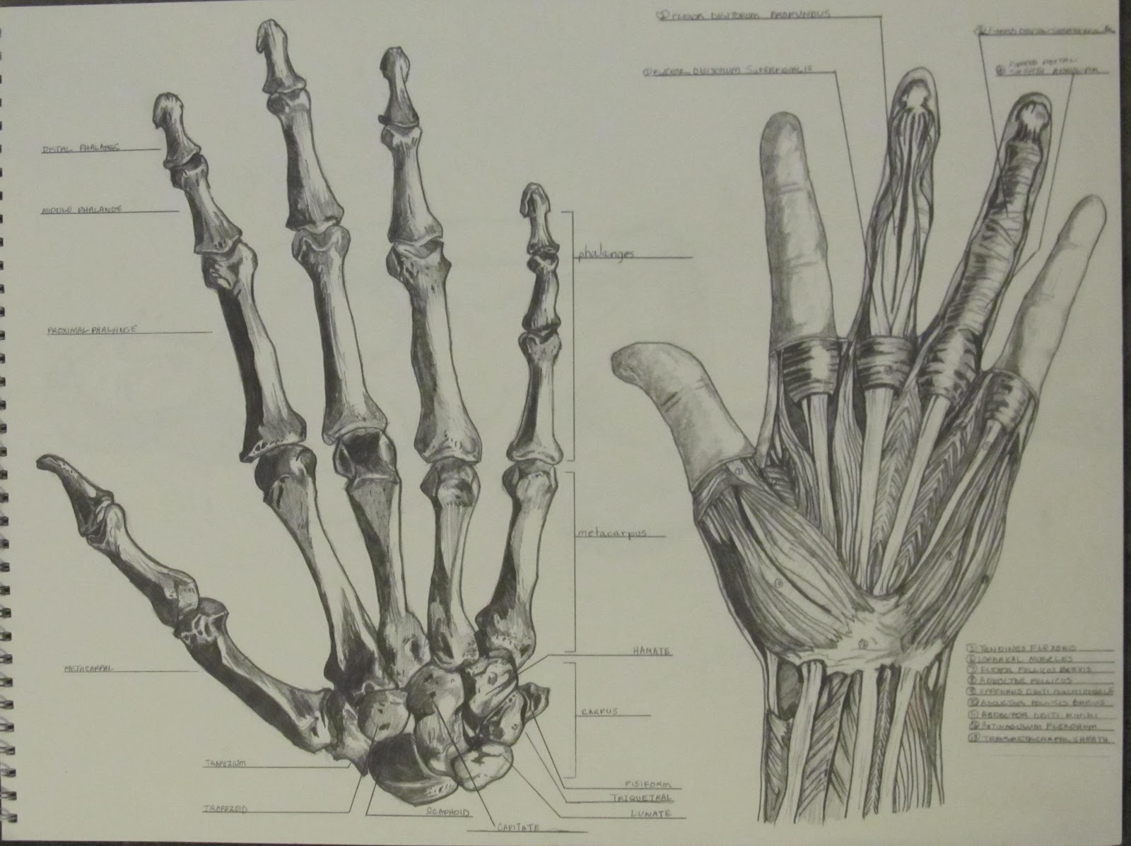 Hand Bones Drawing At Getdrawings Free For Personal Use Hand