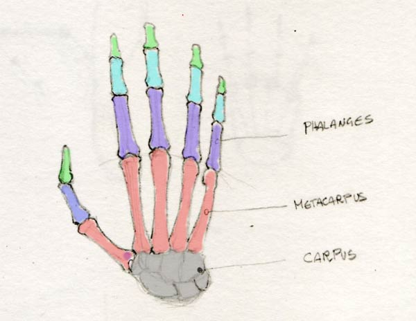 600x464 How To Draw Hands The Proportions