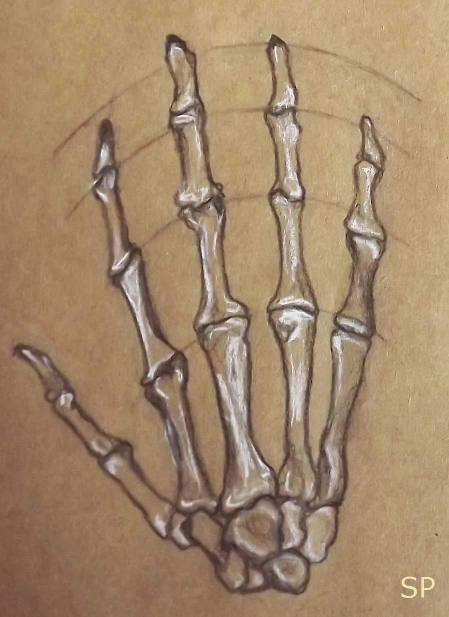 900x1236 Hands And Arms Anatomy Stretched Paw