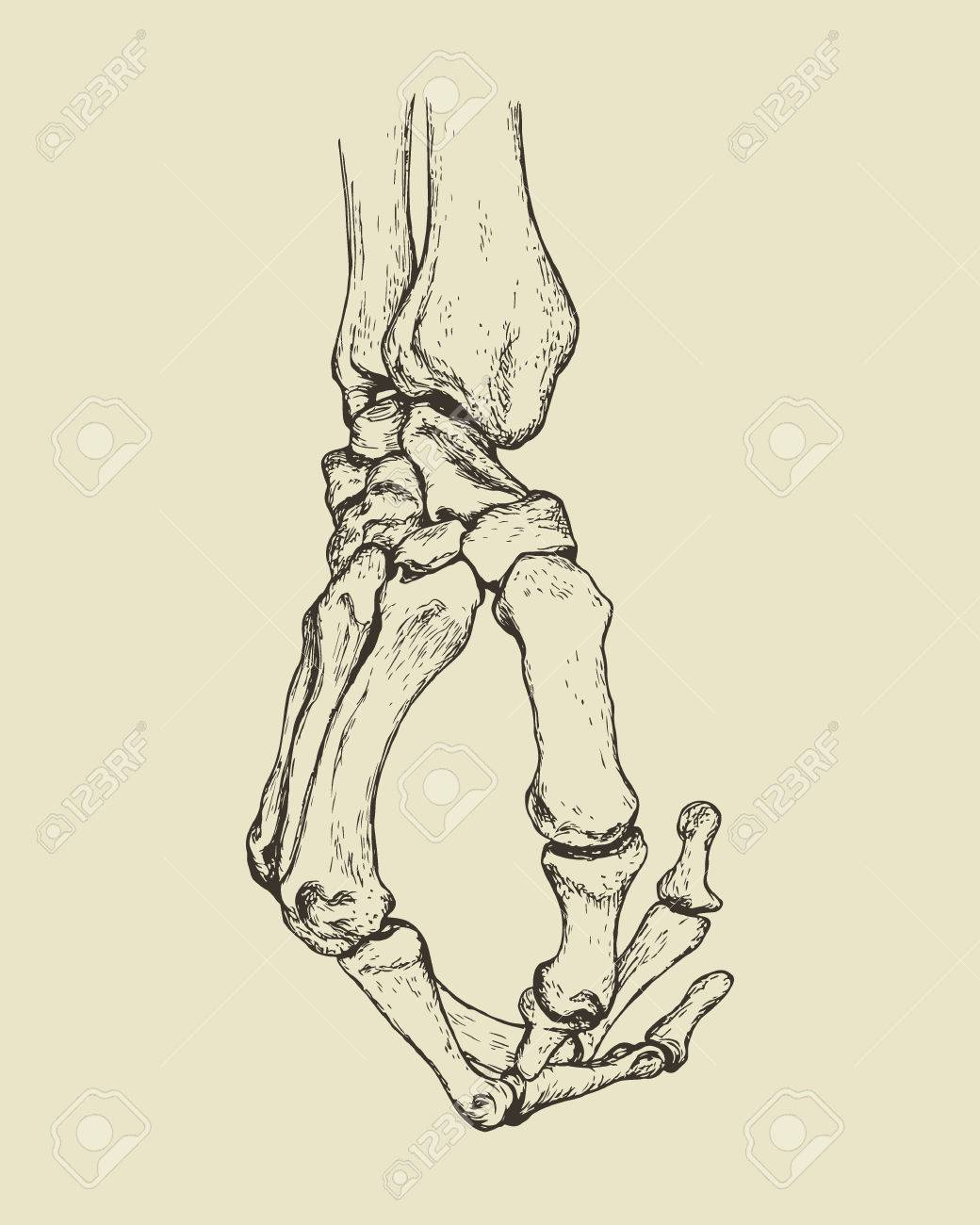 1040x1300 Vector Illustration Of Hand Drawn Hand Skeleton. Anatomical