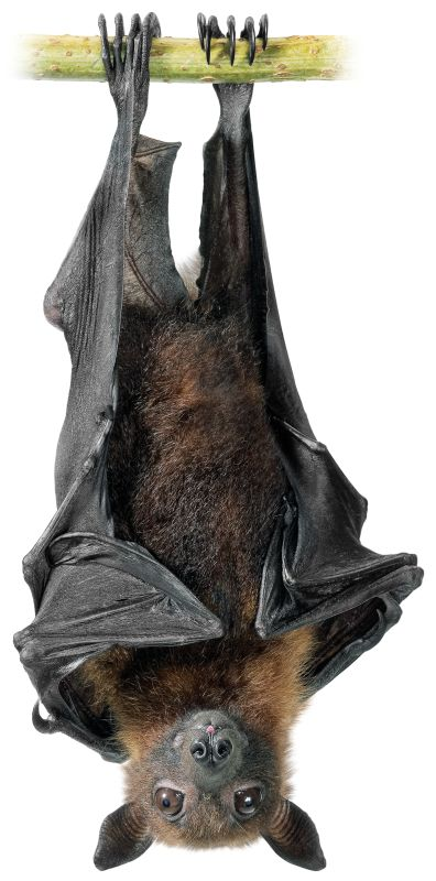 396x800 See A Fruit Bat Close Up Images Animals And Nature Lessons Dk
