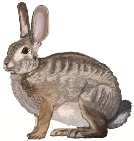 450x475 How To Draw A Hare