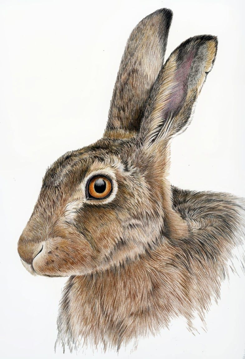 786x1152 Hare Drawing