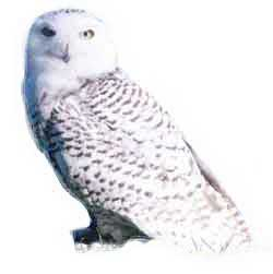 250x251 How To Draw Hedwig, Harry Potter's Snowy Owl Draw Fluffy