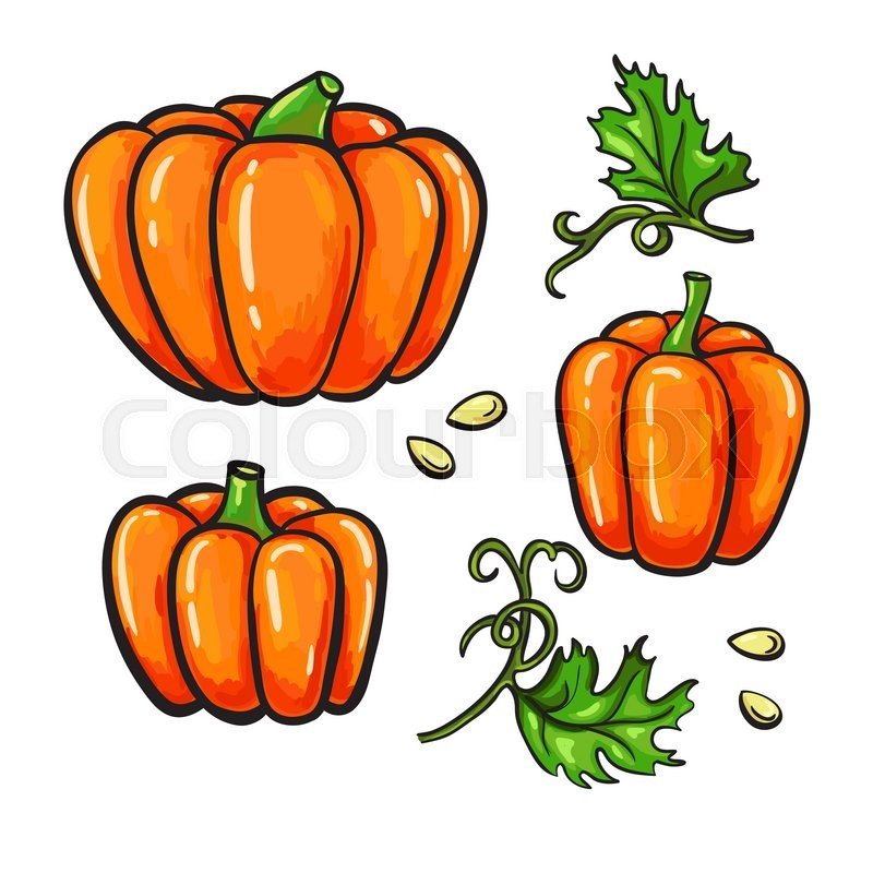 800x800 Pumpkin Vector Drawing Set. Isolated Hand Drawn Vegetable, Plant