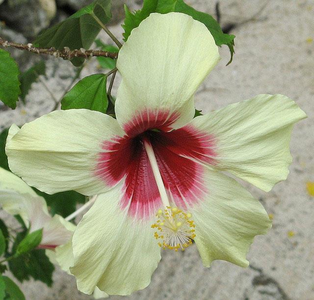640x611 Hawaii State Flower