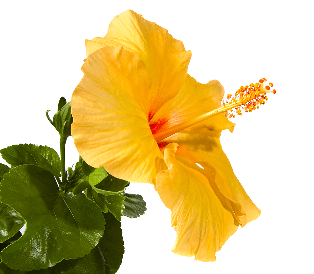 Hawaii state flower drawing at getdrawings free for personal 600x552 yellow hibiscus hawaii state flower free images 1000x872 hawaiistateflower2g izmirmasajfo Choice Image