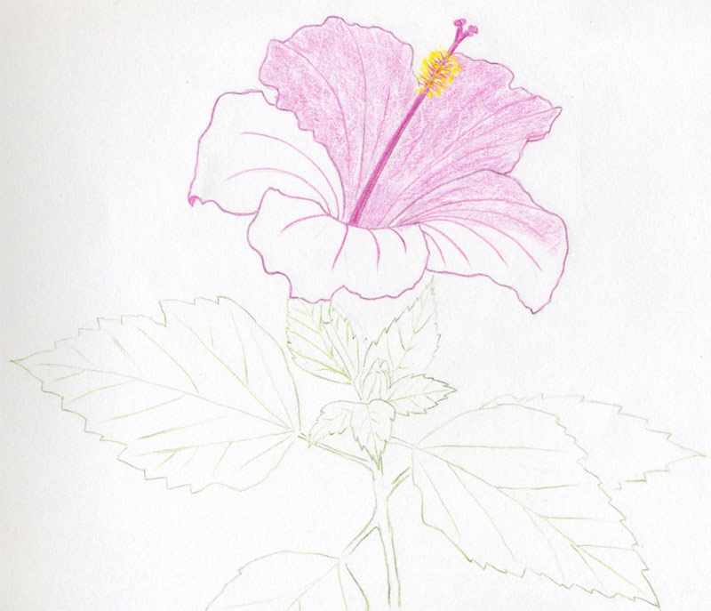 800x687 Draw Beautiful Hibiscus Flowers And Surprise Your Friends. Here'S