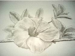 248x186 Hawaiian Flower Drawings