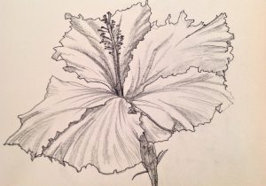 300x210 Hibiscus Plant Drawn Sketches How To Draw A Hibiscus Flower