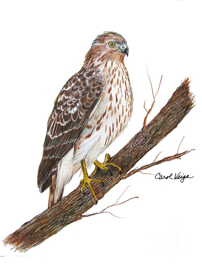687x900 Cooper's Hawk Drawing By Carol Veiga