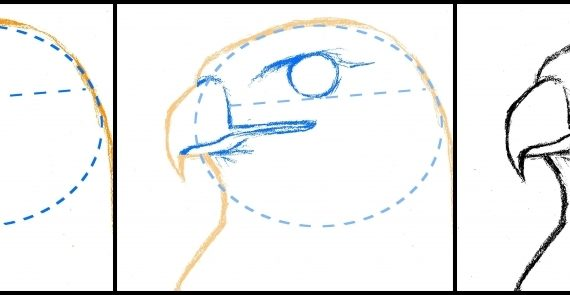 570x295 How To Draw A Hawk How To Draw A Hawk Red Tailed Hawk Step Step