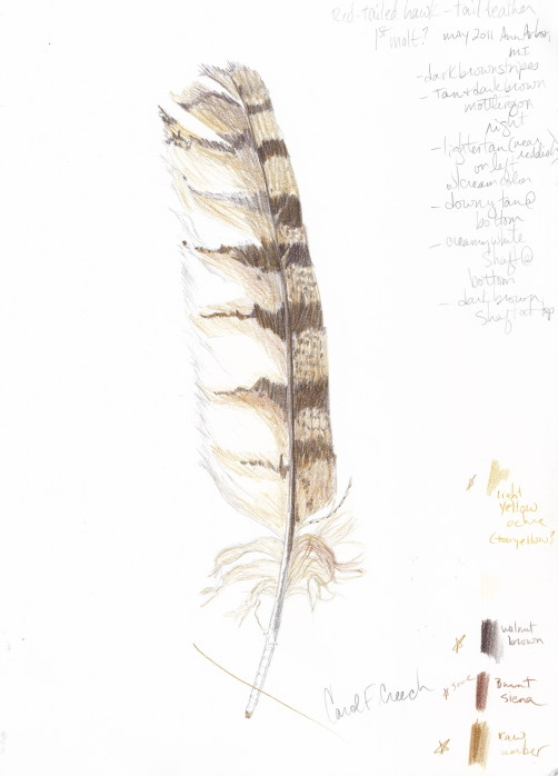 502x698 Ccreech Studio Creative Adventures Red Tailed Hawk Tail Feather