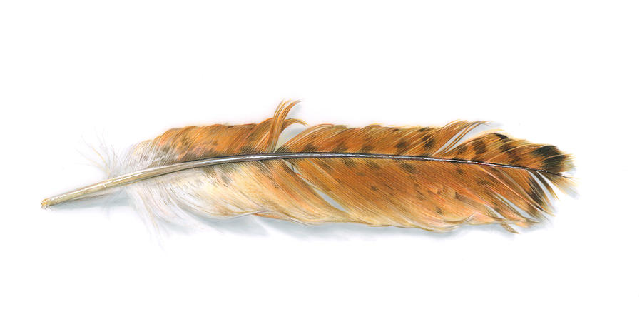 900x461 Red Tailed Hawk Feather Painting By Logan Parsons