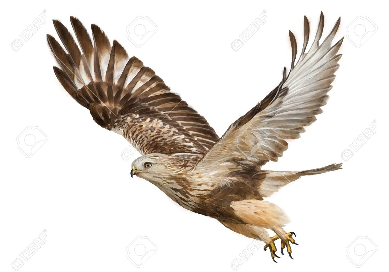 1300x909 Hawk Flying Hand Draw And Paint Color On White Background Vector
