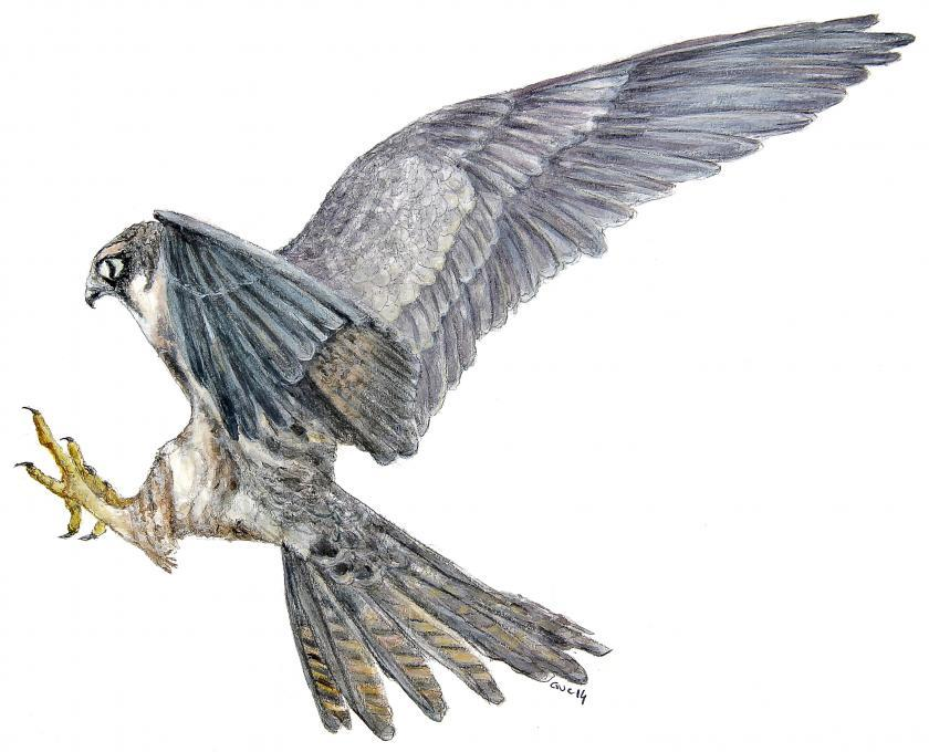 840x680 Hobby Flying. Birds. Drawings. Pictures. Drawings Ideas For Kids